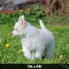 Щенок  китайской хохлатой собаки - пуховый мальчик маленькая