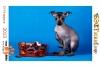 Щенок перуанской голой собаки маленькая