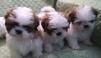 Ши-тцу щенки (собачка-хризантема) продажа маленькая