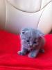 Шотландская прямоухая кошка и шотландский вислоухий котик маленькая