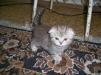 Шотландские котята маленькая