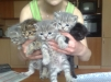 Шотландские вислоухие и прямоухие котята маленькая