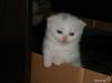 Шотландские вислоухие котята маленькая