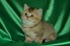 Шотландский котик маленькая