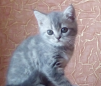 Шотланский котенок маленькая