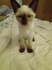 Сиамский котенок(Девочка) маленькая
