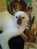 Сиамский котёнок котик маленькая