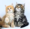 Сибирские котята разнообразных окрасов маленькая