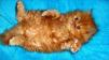 Срочно куплю рыжего котёнка маленькая
