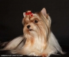 Срочно продается щенок бивер-йорка в Ростове-на-Дону маленькая
