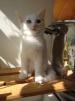 Турецкая ангора котёнок (мальчик) 3 месяца ОЧЕНЬ КРУПНЫЙ ДЛЯ своей породы продаю маленькая