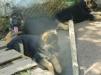Великолепные щенки немецкой овчарки маленькая