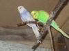 Волнистые попугаи маленькая