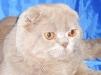 Вязка. Британский кот маленькая