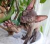 Элитные котята корниш рекс редкого шоколадного окраса маленькая