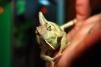 Йеменский хамелеон, мальчик 6 месяцев маленькая
