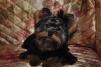 Йоркширский терьер щенок маленькая