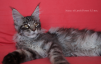 Замечательные котята мейн-кун маленькая