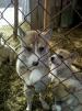 Западносибирская лайка, щенки маленькая