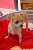 Женский щенок чихуахуа красивых бежевых и белых маленькая