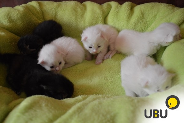 белые котята недорого