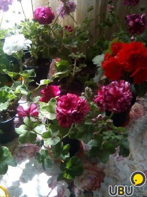 Рассада цветов в подольске 28