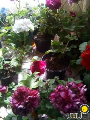 Рассада цветов в подольске 42