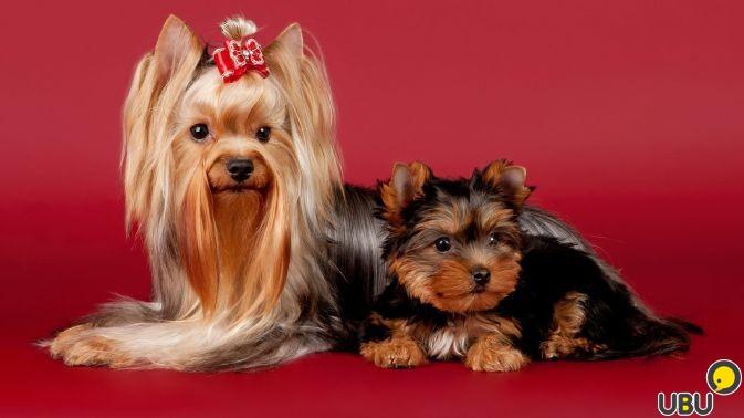 100 % эксклюзив породы йоркширский терьер щенок мини шоу класс, йоркширский терьер