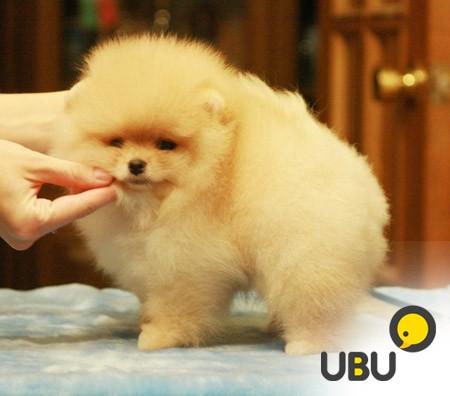 Доберман, порода собак: доберман пинчер, карликовый, фото ...