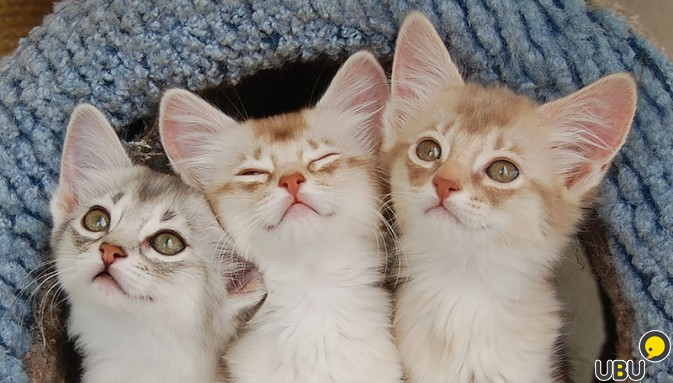 Female Fawn Silver Somali Kitten  Appleby In Westmorland