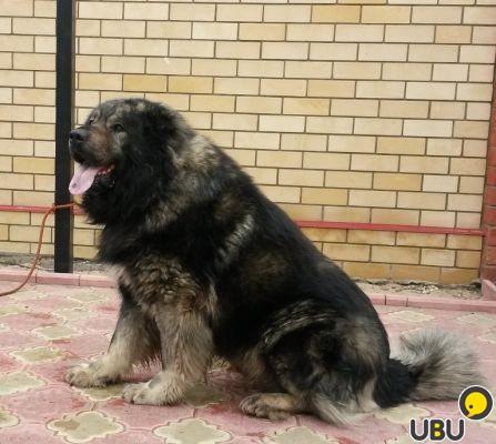 Кавказская овчарка - питомник мон кастро