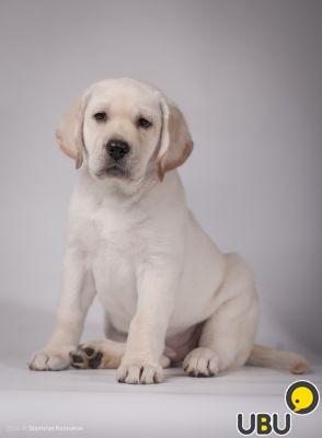Собаки, щенки лабрадор ретривер