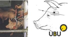 Щипцы для забоя свиней