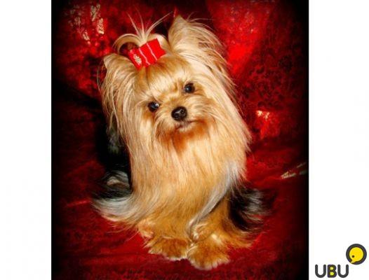 Сток-фото: постоянный - щенков - красный - лук - собака - портрет