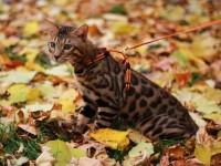 Обьявление Бенгальские котята мини-леопардики