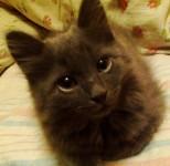 Обьявление котенок 2 месяца серый пушистый  в добрые руки