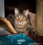 Обьявление Котик с ориентальным разрезом глаз, в дар