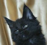 Обьявление Мейн кун котята. Питомник.