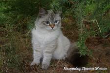 Обьявление Невские маскарадные котята