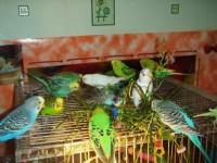 Обьявление Волнистые попугаи(самки)